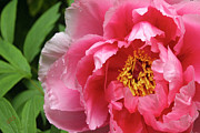 In The Garden - Pink Peony Portrait by Ben and Raisa Gertsberg