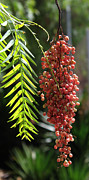 Peppercorns Photos - Pink Peppercorns by Michael Greenaway