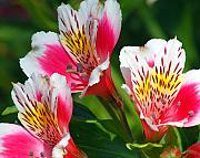 Peruvian Lily Photos - Pink Peruvian Lily 2 by Amy Fose