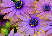 Garden Flowers Photos - Pink Petals and Blue Buttons by Julie Palencia