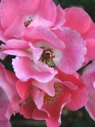 State Flowers Photos - Pink Petals by Colleen Kammerer