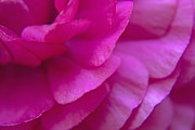 Flower Photo Prints - Pink Petals Print by Jose Valeriano