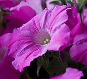 Michael D. Friedman Prints - Pink Petunia II Print by Michael Friedman