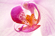 Pistil Prints - Pink phalaenopsis Print by Fabrizio Troiani