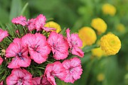 Pink Phlox And Yellow Buttons Print by Scott Hovind