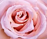 Pink Pink Rose Print by Svetlana Sewell