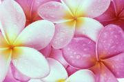 Bed Spread Photos - Pink Plumeria by Carl Shaneff - Printscapes