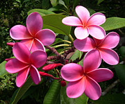 Mccoy Prints - Pink plumeria Print by Claude McCoy