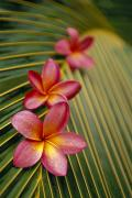 Selective Soft Focus Prints - Pink Plumeria Print by Dana Edmunds - Printscapes