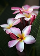 Lei Photos - Pink Plumeria Flowers by Sabrina L Ryan