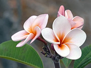 Pink Flower Prints Prints - Pink Plumeria  Hawii Print by James Steele