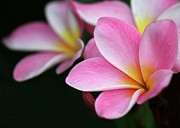Trio Photos - Pink Plumeria by Sabrina L Ryan