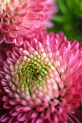 Floral Greeting Cards Prints - Pink Pompons Print by Kathy Yates