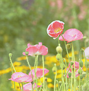Wall Hanging Prints - Pink Poppies Print by Kim Hojnacki