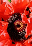 Denver Botanical Garden Prints - Pink Poppy Close Up Print by Bruce Bley