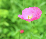 Vale Prints - Pink Poppy In Green Meadow Print by Itsabreeze Photography