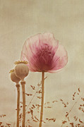 Oriental Poppy. Framed Prints - Pink Poppy Framed Print by Kay Maguire