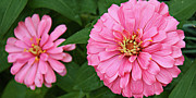 Zinnia Prints - Pink Posy Pano Print by Andee Photography