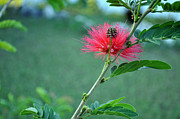 Mimosa Tree Leaf Framed Prints - Pink Powder Puff Plant Calliandra haematocephala Framed Print by Sally Rockefeller
