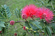 Mimosa Tree Leaf Framed Prints - Pink Powder Puff Plant II Calliandra haematocephala Framed Print by Sally Rockefeller