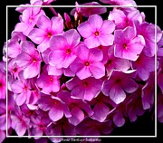 Phlox Framed Prints - Pink Purple Phlox Flowers Framed Print by Rose Santuci-Sofranko