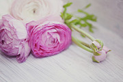 Pink White Framed Prints - Pink Ranunculus Flowers On White Wooden Shelf Framed Print by Isabelle Lafrance Photography