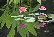 Lily Pond Originals - Pink Reflections by Suzanne Gaff
