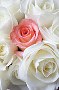 Pink Roses Prints - Pink rose among white roses Print by Garry Gay