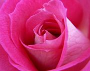 Rose Metal Prints - Pink Rose Metal Print by Amy Fose