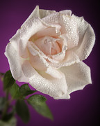 Pink Rose And Rain Drops Print by M K  Miller