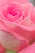 Macro Photo Originals - Pink Rose by Atiketta Sangasaeng