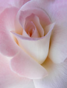 Rose Portrait Prints - Pink Rose Beginnings Print by Jennie Marie Schell