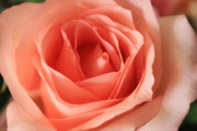 Rose Closeup Posters - Pink Rose Closeup Poster by Carol Groenen