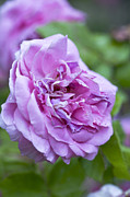 Purples Prints - Pink Rose Flower Print by Frank Tschakert