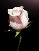 Single Rose Stem Photos - Pink Rose by Gitpix