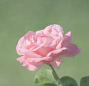 Garden Flowers Photos - Pink Rose by Kim Hojnacki