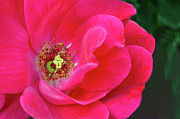 Sandi OReilly - Pink Rose Macro