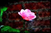 Rose - Pink Rose on Red Brick Wall by Bill Cannon