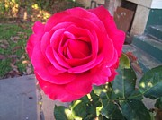 Phuong Tu Metal Prints - Pink Rose Metal Print by Phuong Tu