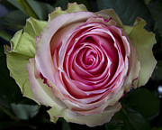 Pink Rose Prints - Pink Rose Spiral Print by James Bo Insogna
