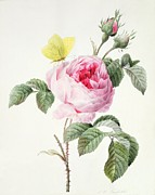 Pink Rose Prints - Pink rose with buds and a brimstone butterfly Print by Louise DOrleans