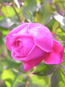 Rainy Day Photos - Pink Rose with Raindrop by Carol Groenen