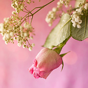 Ethiriel Photography - Pink Rosebud and Bab...