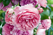 Flower Photos Metal Prints - Pink Roses Metal Print by Frank Tschakert