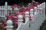 Chatham Prints - Pink Roses Growing Along A Wooden Fence Print by Michael Melford