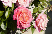 Pink Roses Print by Jose Valeriano