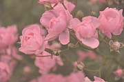 Pink Roses Print by Paula Sharlea