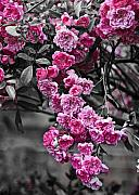 Svetlana Sewell Photo Prints - Pink Roses Print by Svetlana Sewell