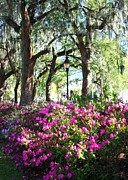 Forsyth Park Photos - Pink Savannah Azaleas by Carol Groenen