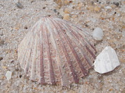Pink Scallop Shell Print by Kimberly Perry